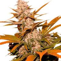 ¿Cómo son las semillas de marihuana S.A.D Sweet Afgani Delicious Auto?