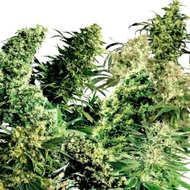 Compra aquí tus semillas de cannabis CBD de Medical Marijuana Geneticsal precio más barato