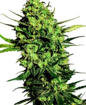 Compra de semillas de marihuana Amnesia Cream