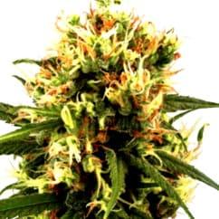 Compra semillas de cannabis Psicodelicia de Sweet Seeds