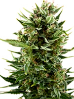 Comprar semillas Big Devil XL Auto de Sweet Seeds