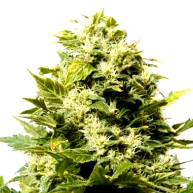 Comprar semillas cannabicas Power Kush