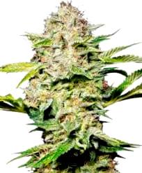 Comprar semillas de cannabis Diamon Girl