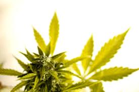 Comprar semillas de cannabis Opium baratas desde tu casa
