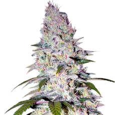 Comprarsemillas de marihuana Auto Blueberry