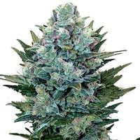 Comprar semillas de marihuana autoflorecientes Strainhunters
