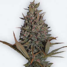 Comprar Semillas de marihuana Dutch Passion Regulares