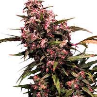 Comprar semillas de marihuana Nebula