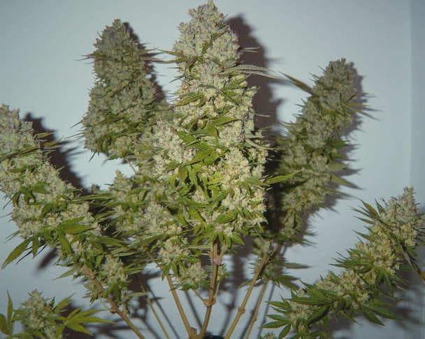 Comprar semillas de marihuana regulares Nirvana