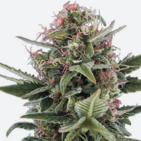 Comprar Semillas Exclusive Seeds Regulares