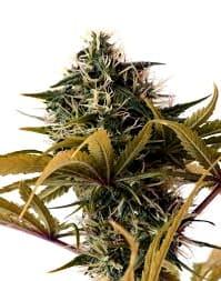 Comprar semillas de cannabis Exotic Seeds Autoflorecientes
