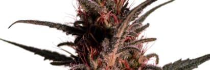 Comprar Semillas de marihuana Samsara Seeds Autoflorecientes