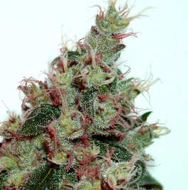 Comprar Semillas  de cannabisT.H Seeds Autoflorecientes