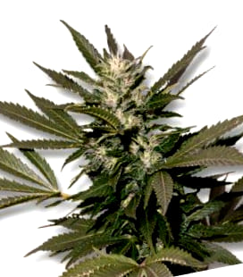 Comprar semillas White Widow XXL Autoflowering de Dinafem