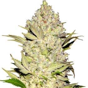 Aquí puedes comprar todas las variedades de semillas CBD de Green House baratas