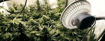 Consejos para germinar semillas de marihuana en tierra