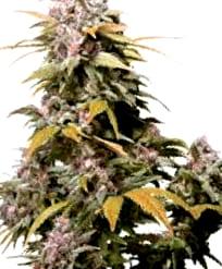 Cruces de las Semillas de Cannabis Ak 47
