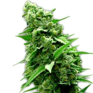 Cruces de las Semillas de Cannabis Diesel