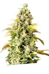 ¿De dónde son las semillas de cannabis The Church?