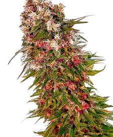 Descripción de las semillas de marihuana Moby Dick