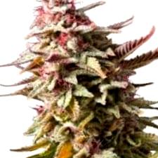 ¿Dónde es mejor comprar semillas de cannabis Cheese?