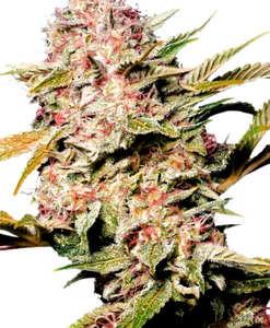 ¿Dónde es mejor comprar semillas de marihuana resinosas?