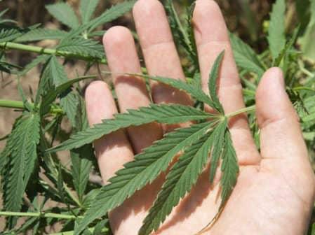 El cannabis como aceite ganador