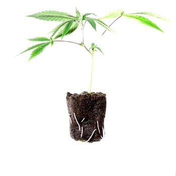 ¿Es seguro comprar semillas feminizadas CBD Crew Seeds?