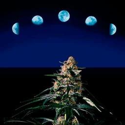 Fases lunares y marihuana