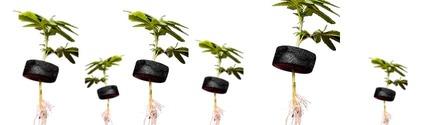 ¿Hay días en el calendario lunar que ayudan a germinar mejor la marihuana?