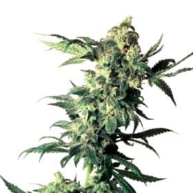 Las mejores semillas de marihuana CBD de Vision Seeds