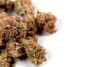 Las mejores semillas de marihuana Devil's Harvest automáticas