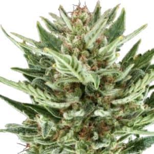 Las semillas CBD de Green House al mejor precio