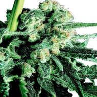 ¿Las semillas Expert seeds CBD son ilegales en mi país?