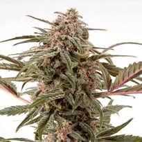 Opiniones de las Semillas Fast Buds Seeds Autoflorecientes