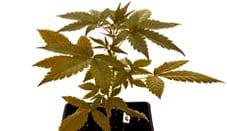 Opiniones de las semillas Paradise Seeds autoflorecientes
