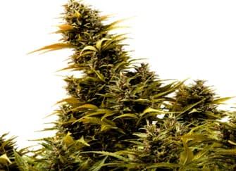 Tropical Seeds ® Venta de semillas feminizadas Baratas ✓