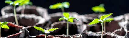 Pasos a seguir para germinar marihuana en jiffy