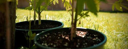 Pasos a seguir para germinar semillas de marihuana en interior