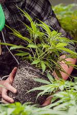 Germinar semillas de marihuana en macetas