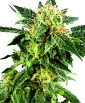 ¿Por qué comprar la Semilla de Marihuana Super Critical?