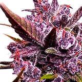 ¿Por qué comprar las Semillas de Marihuana Colombia Punto Rojo?