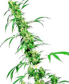 ¿Por qué comprar la Semilla de Marihuana American Pie?