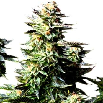 ¿Por qué son asílas semillas de marihuana Critical Cheese?