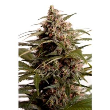 ¿Por qué son así las semillas de marihuana LSD Barney's Farm?