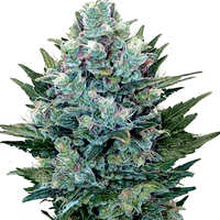 Propiedades de las semillas Auto Blueberry de Dutch Passion