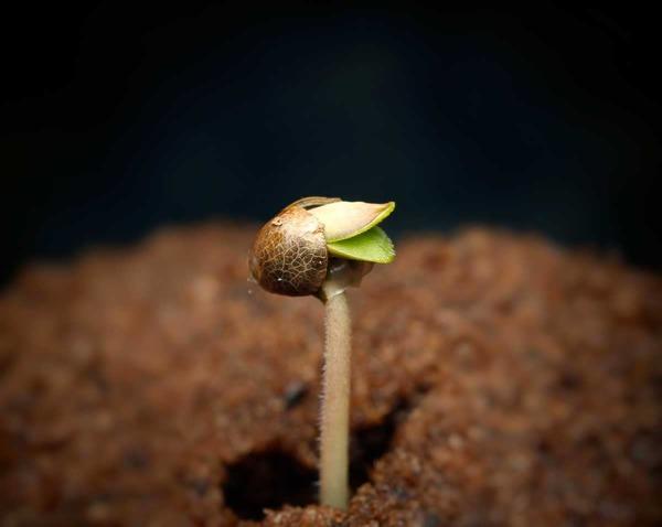 ¿Qué beneficios tiene germinar las semillas de marihuana en agua?