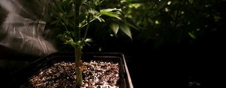 ¿Qué es mejor, plantar semillas de marihuana en macetas o en tierra?