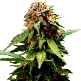 ¿Qué quieres plantar en exterior? ¿feminizadas o autoflorecientes?