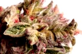 ¿Qué semillas de cannabis Skunk comprar?